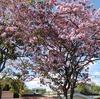 桜に見える、エルサルバドルの花