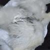 スーパーのニワトリの卵を温めて孵した記録6。烏骨鶏の茶々が死から生き返りました!