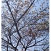西門通りのさくら 咲き始めました。 2020年3月19日!