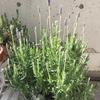 3月でも寒さに負けず元気に開花!ついでにシマススキの近況も|ベランダで鉢植えラベンダー『スーパーサファイアブルー』栽培