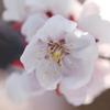 2018年3月24日の杏(あんず)の花