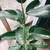 【観葉植物】葉っぱについたホコリをとる