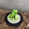【家庭菜園】娘とスナップエンドウを収穫!トマト、キュウリを植える しきわらいらず