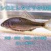 シロヒレタビラの特徴 外観・飼育・繁殖・釣り情報を詳しく解説!