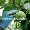 りんごの摘果作業が続いています!②