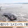 【前兆】宮崎市・赤江浜で小型クジラ「ユメゴンドウ」7頭が打ち上げられる~日向灘で地震の前兆?