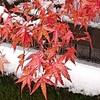 紅葉に初雪が…