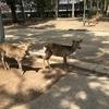 奈良公園にて、鹿せんべいは弟くんのお菓子?