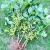 枝豆の収穫!枝豆ごはん!