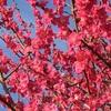大阪城の梅林は、カワイイ梅たちでいっぱいでした!
