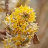 ミツマタの香り                Edgeworthia chrysantha