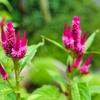 【写真】ケイトウの花 キレイなピンク色!
