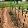 ミニトマトは合掌式の支柱で定植。唐辛子やオクラも終わりました。