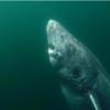 推定年齢512歳! 世界最高齢動物と推定されるサメが北大西洋で発見!