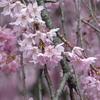 4月の京都に熱を出しながら花見をしに行った件(水火天満宮編)