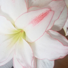 今年もアマリリス開花