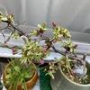 我が家の桜 2