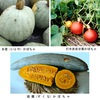 日本の伝統野菜カボチャ 黒皮クリカボチャたちが,スーパーの売り場を席巻していますが,伝統野菜として地域で大事に育てられているカボチャも沢山あります.糸萱(いとや)かぼちゃ,打木赤皮甘栗かぼちゃ等のセイヨウカボチャ.ニホンカボチャ代表は鹿ヶ谷(ししがたに)かぼちゃ,黒皮かぼちゃ(日向カボチャ)----.カボチャの渡来は,「天文(てんぶん)年間(1532~55)のこと.西洋人が船で豊後(ぶんご)の国にやってきて,国主大友氏に種子を献じた」(1832) カボチャ4(カボチャ基本情報2)