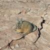 南米ならではの動物たち!ぶさ可愛いビスカッチャ<南米チリ>