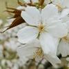 さくら 駿河台匂い SAKURA Prunus lannesiana 'Surugadai- odora