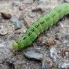 黒と青白い点の美しい幼虫 アヤモクメキリガ