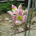 クレマチスの初めての開花
