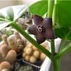 マテレア シクロフィラの花