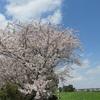 相模川の桜並木!お勧めのお花見スポットで最後の輝きを感じてみる