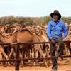 100万羽以上のラクダに苦心しているオーストラリアの歴史