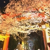 夜   桜