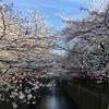 【速報】目黒川の桜 開花状況【2018年3月26日】