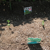 【家庭菜園】枝豆、少しずつ