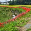 福岡県宗像市吉留にある 彼岸花の列