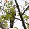 桜の葉っぱの上の毛虫を捕らえて、口にくわえて飛ぶツツドリ