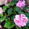 雨の季節を迎える前に紫陽花を庭に・・さて、花の色は・・