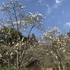 「マダム倶楽部」活動報告 いよいよコブシの開花シーズン到来、その他色々春の息吹を探してウロウロ~♪ 3月8日