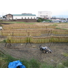 稲の天日干しに行ってきました。