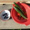 菜園だより'21 ⑪ ブラックベリーの収穫