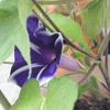 梅雨明けの朝、アサガオが咲く