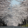 クーポンあり! 喜多見から足を伸ばして桜を見るならー埼玉県・秩父郡長瀞町の桜