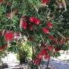 ボノボンの飴+アルゼンチンの赤い花