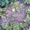 ジャガイモの収穫 家庭菜園