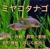ミヤコタナゴの特徴・婚姻色・繁殖・生息地・観察できる場所等紹介!