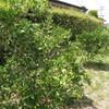 真夏の家庭菜園とヒマワリ並木
