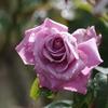 秋のバラ(前編)