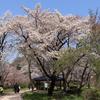 神代植物公園で桜を見てきました