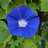 朝顔がやっと咲きました。毎年いろんなことを教えてくれる花です!