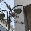 フランクフルトの桜が咲く