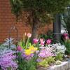 4月3日  マンション花壇  チューリップ