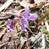 スミレ,菫,Viola mandshurica